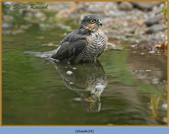 sparrowhawk-24.jpg