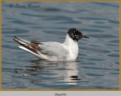 little-gull-39.jpg