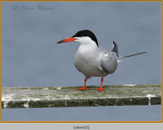 common-tern-25.jpg