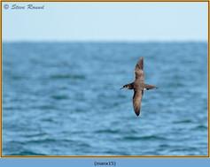 manx-shearwater-15.jpg