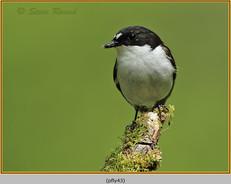 pied-flycatcher-43.jpg