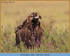 black-vulture-32.jpg