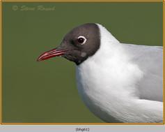 black-headed-gull-61.jpg