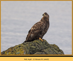 white-tailed-eagle-02.jpg