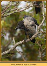 hooded-crow-09.jpg