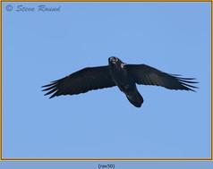 raven-50.jpg