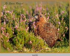 red-grouse-140.jpg