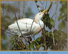 cattle-egret-82.jpg
