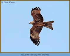 black-kite-01.jpg