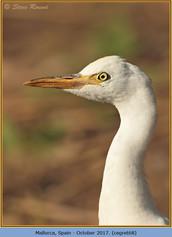 cattle-egret-68.jpg