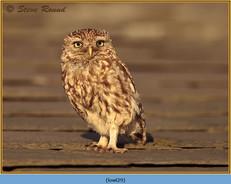 little-owl-29.jpg