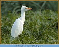 cattle-egret-57.jpg