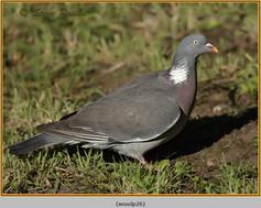 wood-pigeon-26.jpg