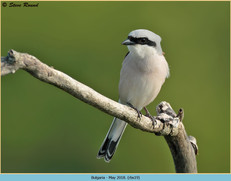 red-backed-shrike-19.jpg