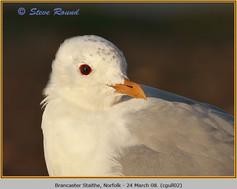 common-gull-02.jpg