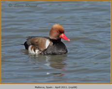 red-crested-pochard-08.jpg