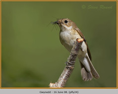 pied-flycatcher-24.jpg