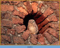 little-owl-61.jpg