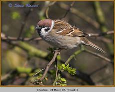 tree-sparrow-11.jpg