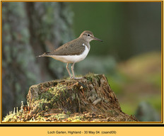 common-sandpiper-09.jpg