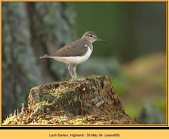 common-sandpiper-09.jpg