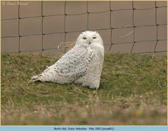 snowy-owl-01.jpg