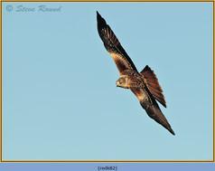 red-kite-82.jpg