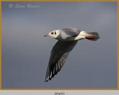 black-headed-gull-42.jpg