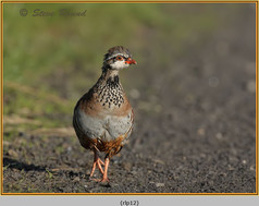 red-legged-partridge-12.jpg