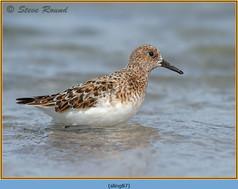sanderling-87.jpg