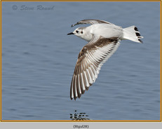 little-gull-28.jpg