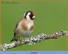 goldfinch-80.jpg