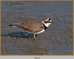 little-ringed-plover-15.jpg