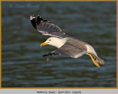 yellow-legged-gull-26.jpg