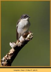 pied-flycatcher-12.jpg