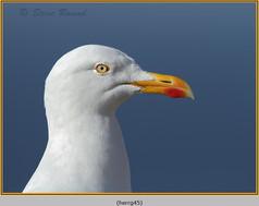 herring-gull-45.jpg