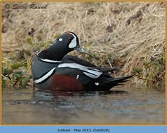 harlequin-duck-28.jpg