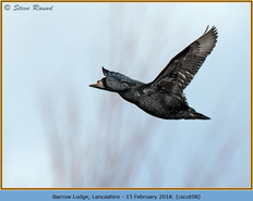 common-scoter-08.jpg