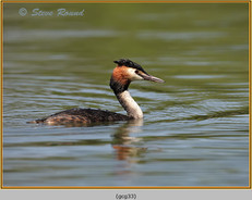 great-crested-grebe-33.jpg
