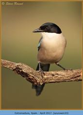 azure-winged-magpie-33.jpg