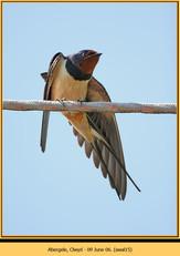 swallow-15.jpg