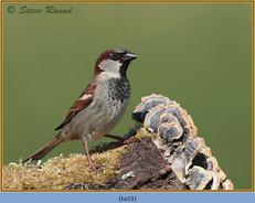 house-sparrow-53.jpg