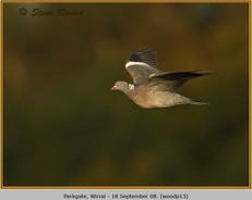 wood-pigeon-13.jpg