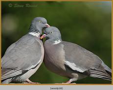 wood-pigeon-18.jpg