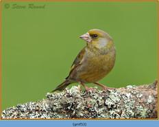 greenfinch-53.jpg
