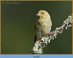 greenfinch-62.jpg