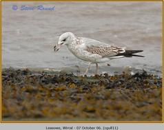 common-gull-11.jpg