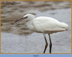little-egret-65.jpg