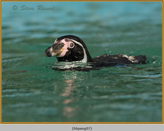 humboldt-penguin-07c.jpg