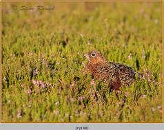 red-grouse-148.jpg